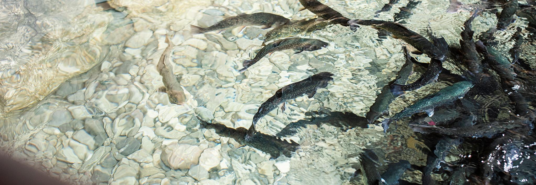Sandbauer Bio Bachsaibling Bio Fischzucht